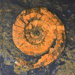 Kimmeridge Ammonite