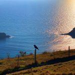 Lulworth Cove Raven