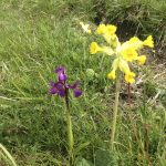 Cowslip & Orchid