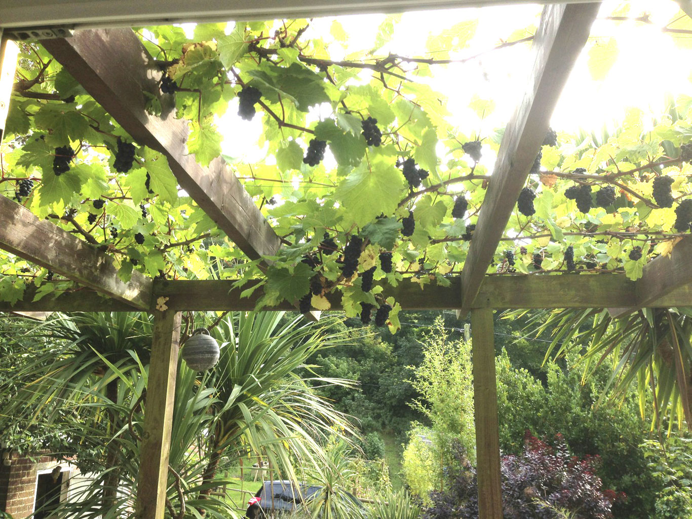 Vine on Arbour