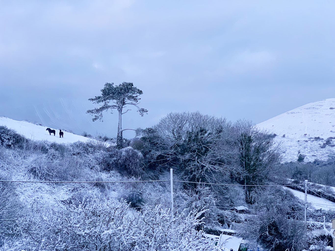 Exmoor Ponies On Bindon Hill